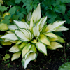 Hosta On Stage