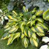 Hosta Rainbow`s End