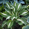 Hosta Risky Business