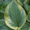 Hosta Rosedale Misty Pathways