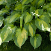 Hosta Roy Klehm