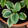 Hosta Secret Ambition