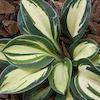 Hosta Snow Mouse