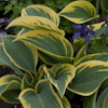 Hosta Valley`s Glacier