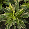Hosta Valley`s Top