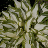 Hosta White Elephant