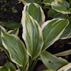 Hosta Yellow Splash Rim