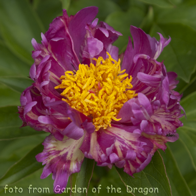 Paeonia Cherry Twist