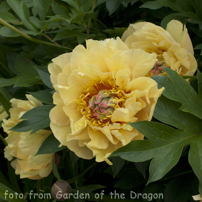 Paeonia Garden Treasure