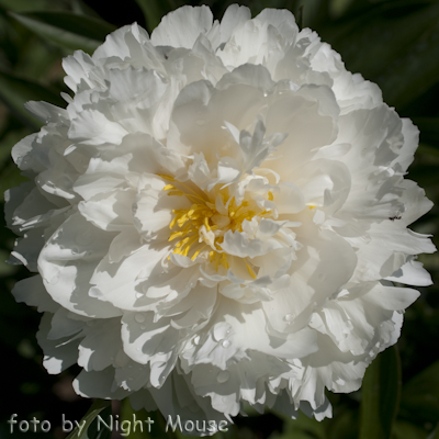 Paeonia Magic Moonbeam