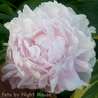 Paeonia Myrtle Gentry