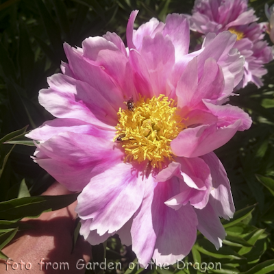 Paeonia Pink Firefly