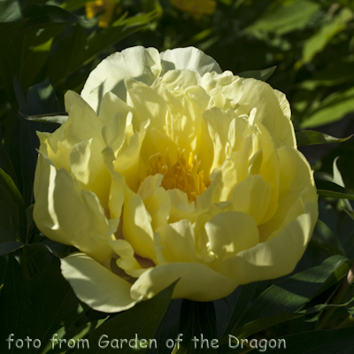 Paeonia Smith Family Yellow