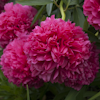 Paeonia Angelo Cobb Freeborn