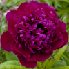 Paeonia Anthey