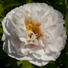 Paeonia Blushing Princess