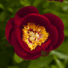 Paeonia Fairy Princess