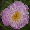 Paeonia Flying Pink Saucer
