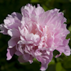 Paeonia Friend