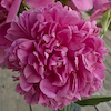 Paeonia General Bertrand
