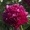 "Немного растений из ""Сада Дракона"" Inspecteur_lavergne_l"