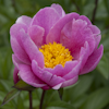 Paeonia Jeanne Cayeux