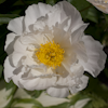 Paeonia Krinkled White