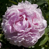 Paeonia Lady Orchid