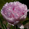 Paeonia Madame Rose Rendatter