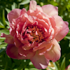 Paeonia Magical Mystery Tour