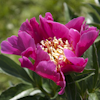 Paeonia Mme Marcel Gay