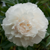 Paeonia Moon River