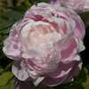 Paeonia Mrs Franklin D. Roosevelt