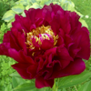 Paeonia Old Faithful