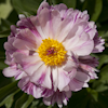 Paeonia Pink Spinners