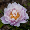 Paeonia Queenbee