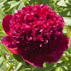 Paeonia Red Charm