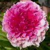 Paeonia Rose Heart