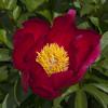 """Немного растений из """"Сада Дракона"""" Scarlet_o_hara_l"""