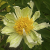 Paeonia Spider Green