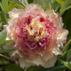 Paeonia Surprise