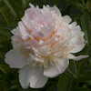 Paeonia Top Brass