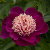 Paeonia Ursa Major