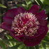 Paeonia West Elkton