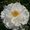 Paeonia White Grace