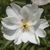 """Немного растений из """"Сада Дракона"""" White_innocence_l"""