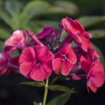 Phlox Grenadine Dream