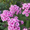 Phlox Miss Pepper