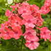 Phlox Orange Perfect