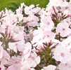 Phlox white-rose